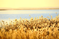 Free Reed Stalks In The Swamp Royalty Free Stock Photo - 16605065