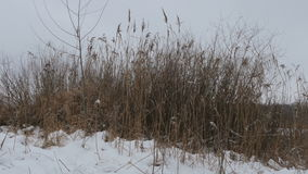 Reed stalks in the snow near the lake stock video