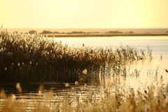Reed stalks in the swamp Royalty Free Stock Images