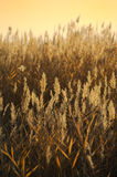 Reed stalks in the swamp Royalty Free Stock Photo