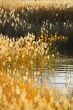 Reed stalks in the swamp. Against sunlight Royalty Free Stock Image