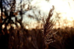 reed stalks in the swamp against sunlight. Royalty Free Stock Photo