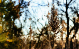 reed stalks in the swamp against sunlight. Stock Images