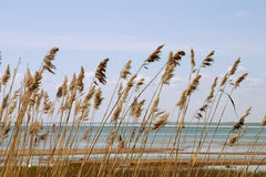 Reed stand. At the sea shore Royalty Free Stock Photo