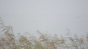 Reed standing in a lake with heavy fog in the background stock video footage