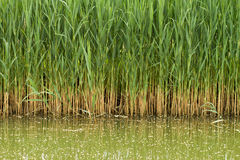 Reed stems Stock Image