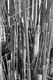 Reed stems stock photo
