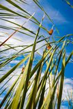 Reed stems in front of blue sky Stock Images
