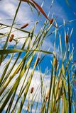 Reed stems in front of blue sky Stock Photo