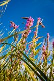 Reed stems in front of blue sky Stock Photography