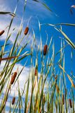 Reed stems in front of blue sky Royalty Free Stock Photo