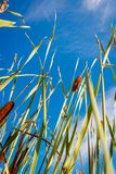 Reed stems in front of blue sky Royalty Free Stock Images