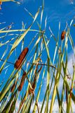 Reed stems in front of blue sky Royalty Free Stock Image