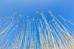 Reed stems with plumes against blue sky in spring Royalty Free Stock Images