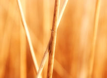 Reed stems in the sunlight Royalty Free Stock Photography