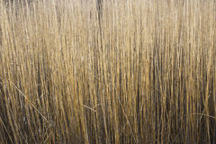 Reed Stems. Thick stand of Common Reed (Phragmites australis) stems in late winter Stock Photography
