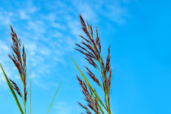 Reed straws against a blue sky. With copyspace Stock Photo