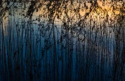 Reed straws in the sunset stock image