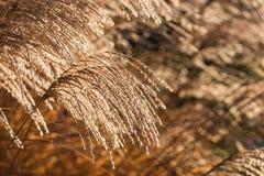 Reed su una luce solare immagini stock libere da diritti