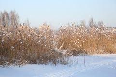 Reed sul fondo della neve Fotografia Stock Libera da Diritti
