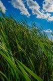 Reed sul lago Fotografie Stock Libere da Diritti