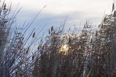 Reed sull'alba del sole del fondo Immagine Stock Libera da Diritti