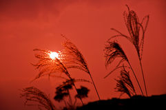Reed and Sun. Golden winter reed in nice winter sun and light. Taken at sunset Stock Photography