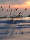 Reed on sundown 2. Winter. Snowy landscape with reed on sundown stock photos