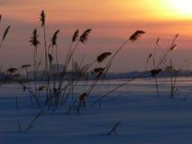 Reed on sundown. Winter landscape with reed on sundown royalty free stock photo