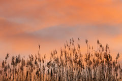 Reed at sunrise Royalty Free Stock Images