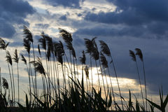 Reed at sunset Royalty Free Stock Image