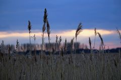 Reed with sunset Stock Image