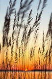 Reed at sunset Stock Photography