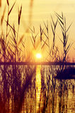 Reed at sunset Stock Image
