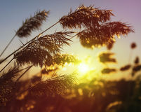 Reed at sunset Royalty Free Stock Images