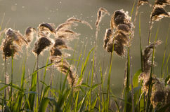Reed in the sunset. Light Stock Photography