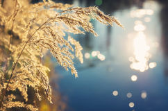 Reed at sunset over the water Royalty Free Stock Images