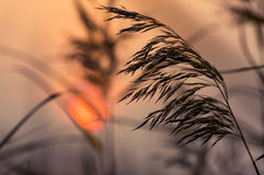 Reed in sunset Royalty Free Stock Photography