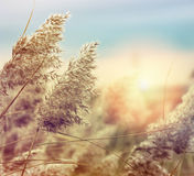Reed at sunset Royalty Free Stock Photos
