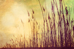 Reed at Sunset Royalty Free Stock Photo