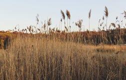 Reed sur le fond du coucher du soleil photographie stock libre de droits