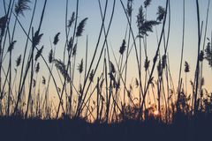 Reed sur le fond du coucher du soleil images stock