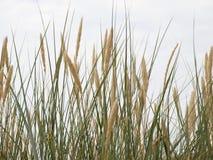 Reed sur une dune photo stock