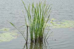 Reed in swamp Royalty Free Stock Photo