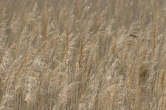 Reed swaying in the wind dry grass. Royalty Free Stock Image