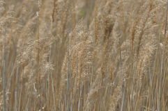 Reed swaying in the wind dry grass. Panicles of seeds. Stock Photos