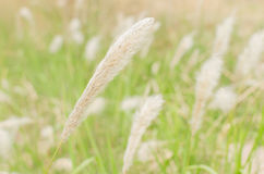 Reed swaying in the wind flower Stock Images