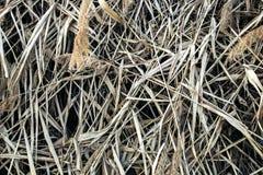 Reed Thatch Detail Hay Straw Stack Background Texture, randig bakgrund för åkerbrukt naturligt abstrakt begrepp, Arkivfoton