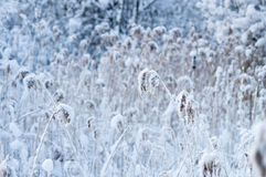 Reed thicket in snow Royalty Free Stock Images