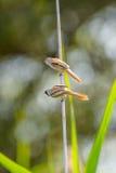 Reed-titsn, das auf einem Zweig auf dem Gebiet sitzt Lizenzfreies Stockfoto